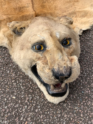 A Victorian taxidermy lion skin rug with full head
