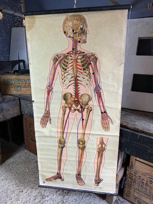 A 1939 St. John's Ambulance anatomical skeleton teaching chart