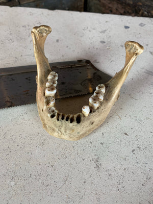 A Victorian human skull jaw bone for anatomical use
