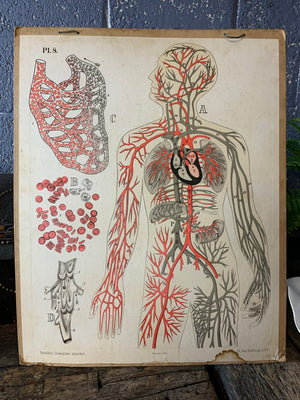 An early anatomical teaching chart by H Aschehoug and Co, Oslo
