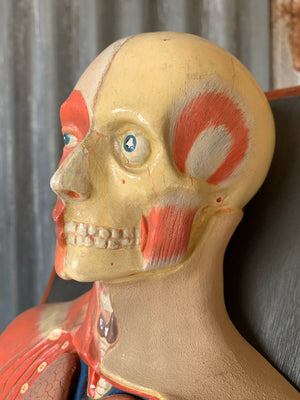 An early anatomical model by Deyrolle of Paris