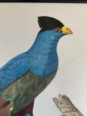 Rare exotic bird framed print 1796-1812- parrot, turaco, bird of paradise, 'tucan'