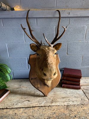 A large taxidermy caribou (reindeer) head by C J Gunston, Quebec, Canada