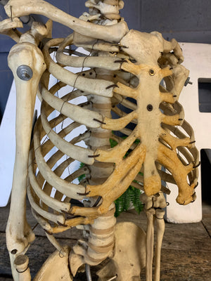 An antique anatomical skeleton model on a metal stand