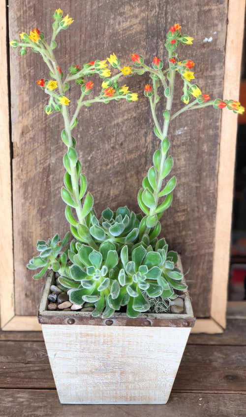Large Bloomin' Succulent