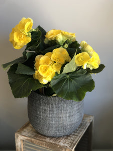 Blooming Begonia - Reiger Begonia - yellow