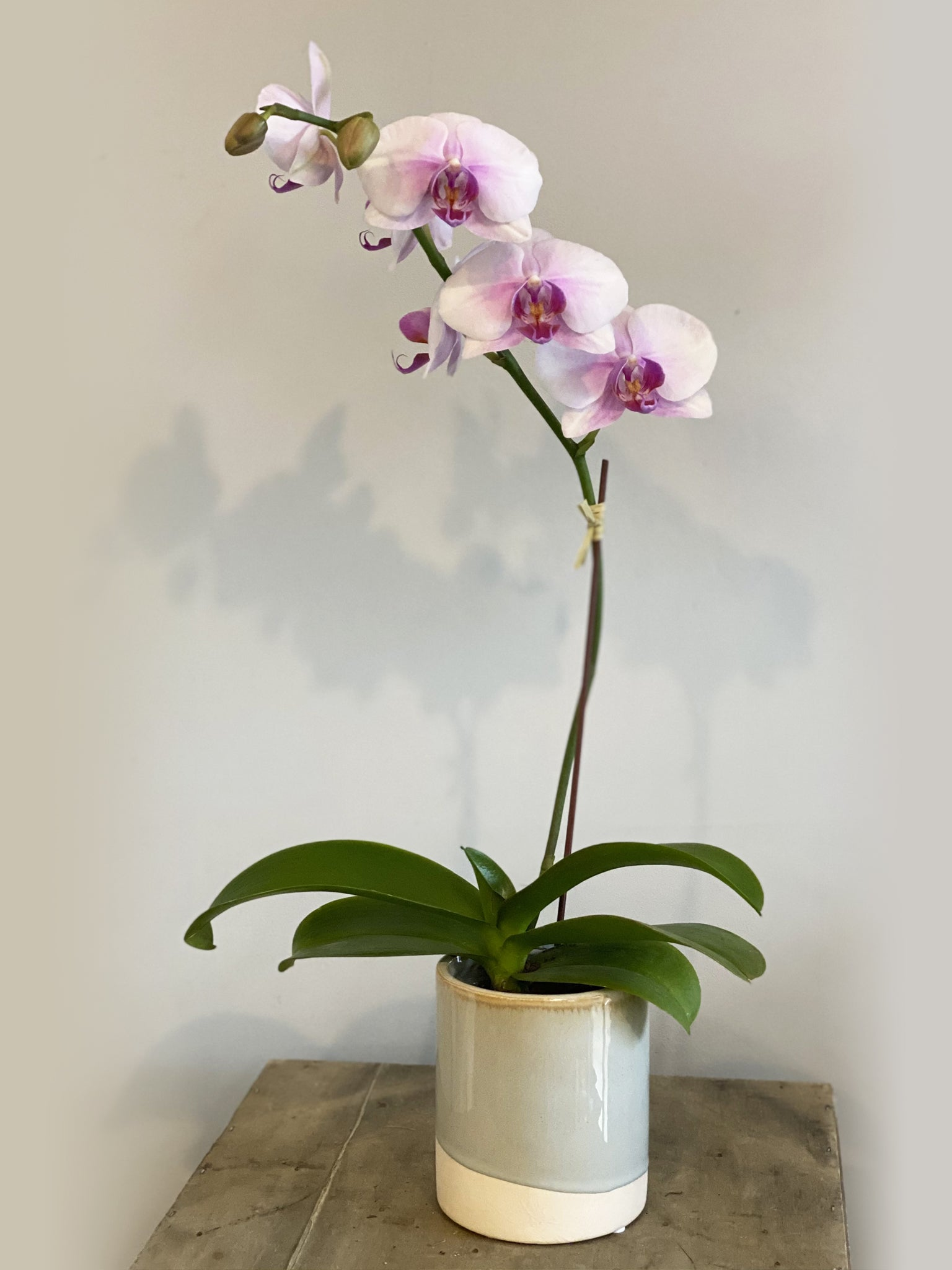 Mini single Phalaenopsis Orchid