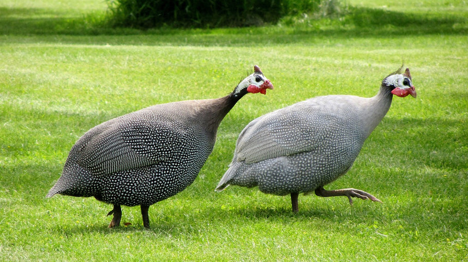 Popular Guinea Hens Using Cheeper Keeper