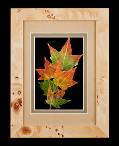 Sugar Maple Leaves with Brown Frame