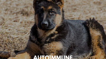 Autoimmune Disorders in Dogs