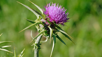 The Benefits of Milk Thistle