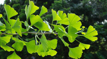 The Health Benefits of Ginkgo Biloba
