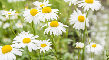 The Benefits of Camomile