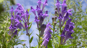 The Health Benefits of Skullcap