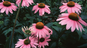 The Health Benefits of Echinacea