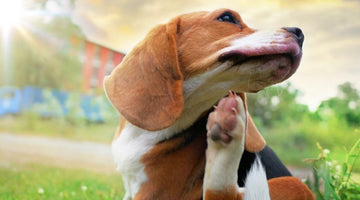 Environmental Allergies - does your dog suffer?