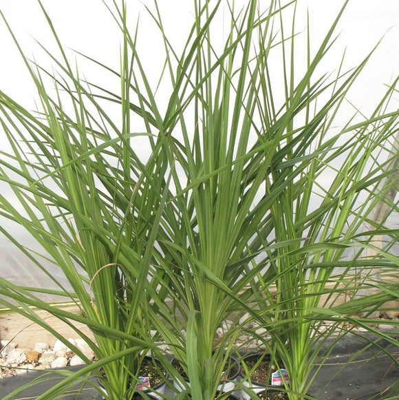 Annual Ornamental Grasses Collections bsmshop annual ornamental grasses workwithnaturefo