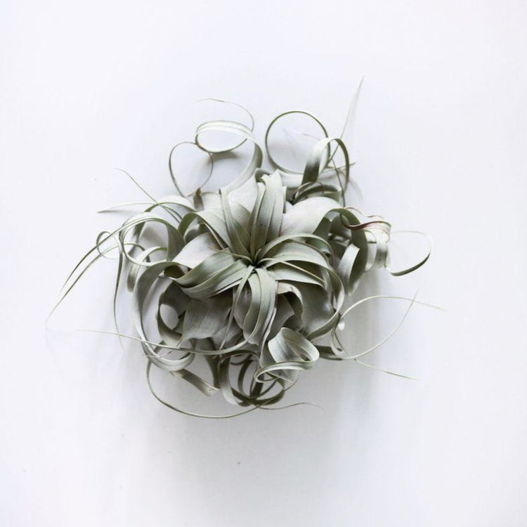 Large Xerographica Air Plant