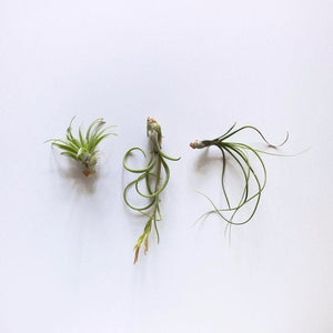 Small Air Plants Originated in Central America