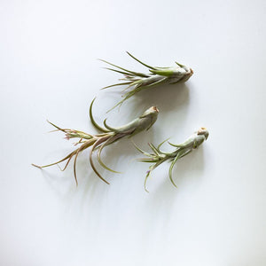 Medium sized Air Plants Originated in Central America