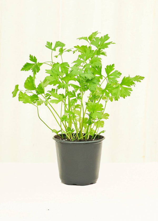 Parsley 4-Pack