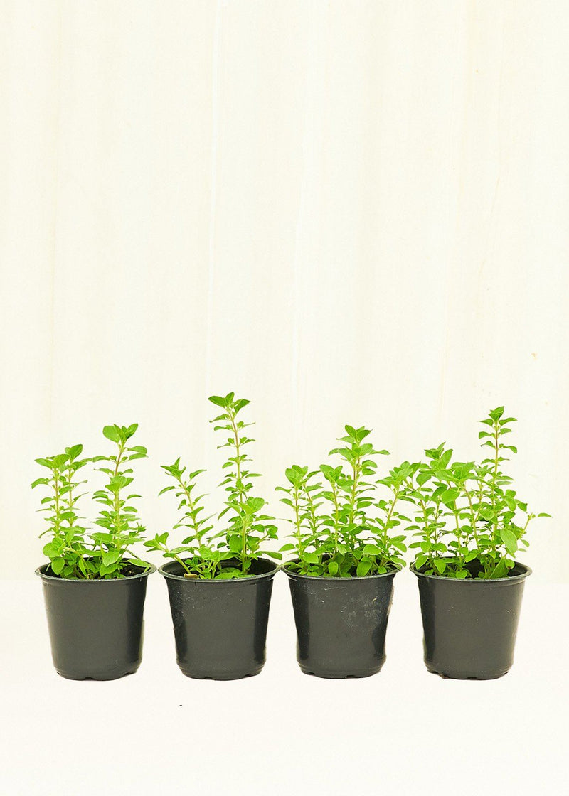 Oregano 4-Pack