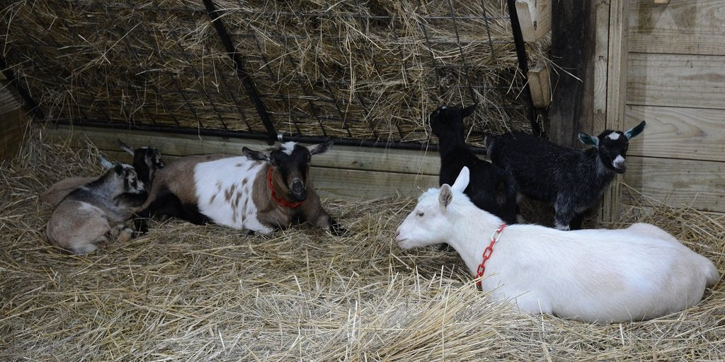 Dairy Goats and Hay