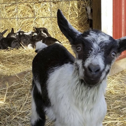 Goat Medications