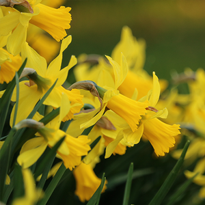 Do Daffodils Spread?