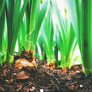 Bulbs, Rhizomes, Tubers, and Corms: What's the Difference?