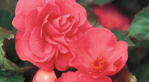 Begonia Bulbs