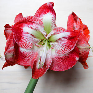 How to Make Amaryllis Bloom Again