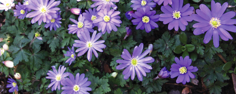B&B-best-fall-bulbs-southern-anemone