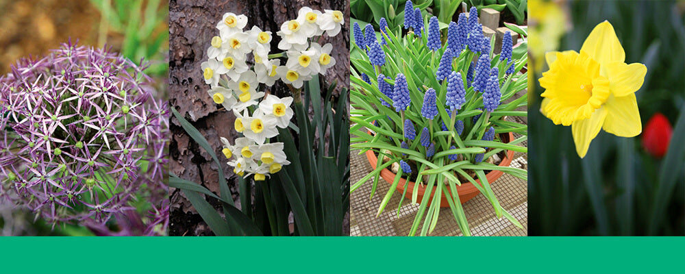 B&B-best-fall-bulbs-southern-daffodil-hyacinth-allium