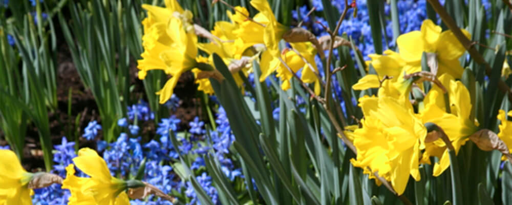 B&B-best-fall-bulbs-southern-gardens-grape-daffodils