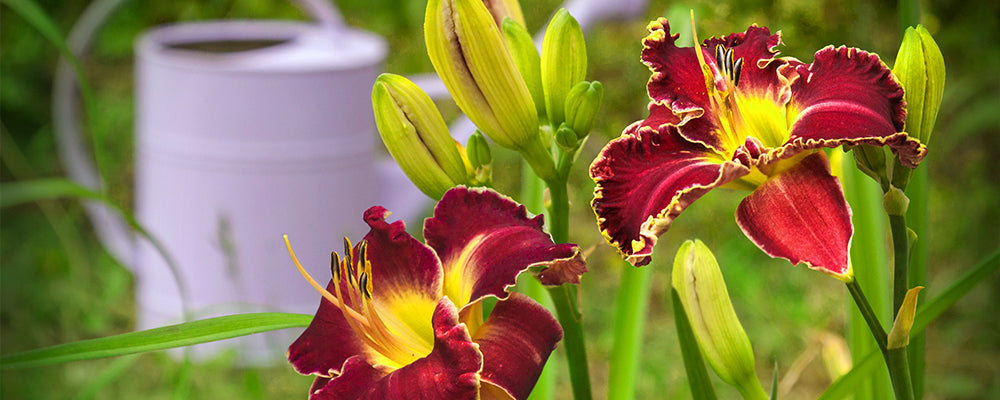 B&B-bulbs-podcast-april12-daylilies-watering-can