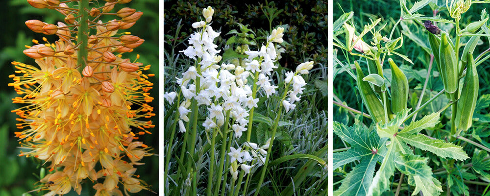 B&B-companion-plants-for-bulbs-eremus-hyacinthoides-okra