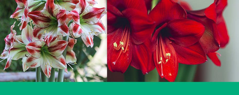 growing amaryllis in water B&B header