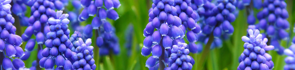 blue bulbs in the garden muscari grape hyacinth