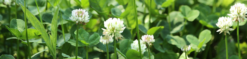 common weeds white clover