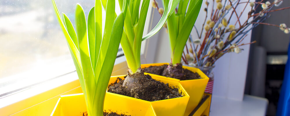 B&B-problems-forcing-bulbs-indoors-leggy-bulbs-not-blooming