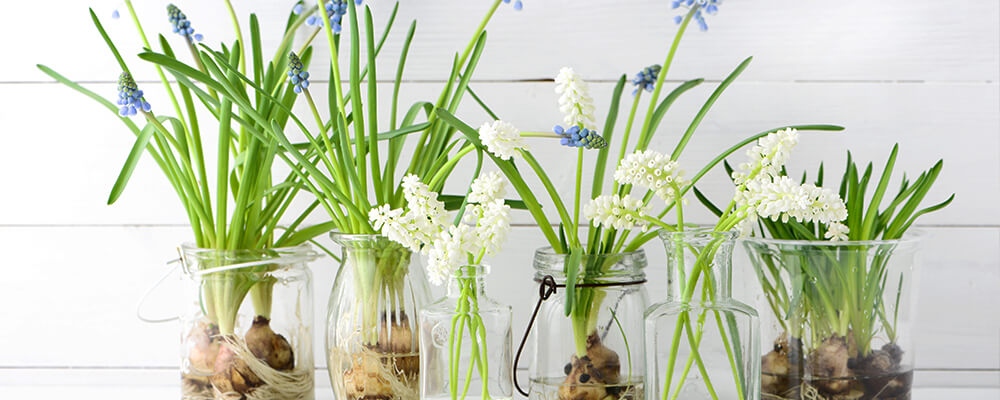 B&B-problems-forcing-bulbs-indoors-muscari-bulbs-in-water