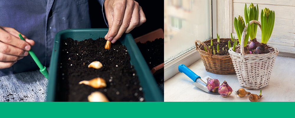 B&B-problems-forcing-bulbs-indoors-planting-growing-bulbs