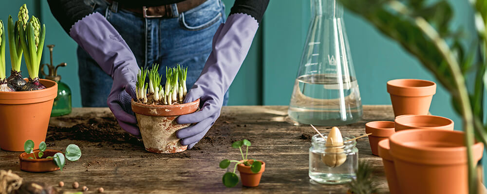 B&B-problems-forcing-bulbs-indoors-woman-caring-for-indoor-bulbs