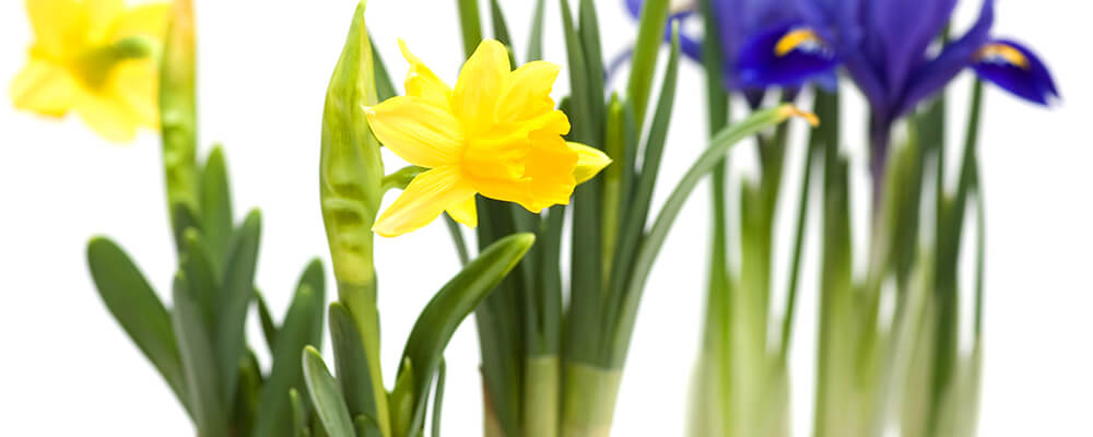 B&B-spring-bulbs-planted-in-fall-daffodils-up-close