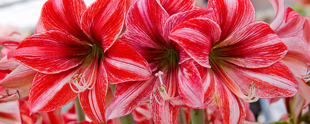 B&B types of amaryllis indoors red white striped blooms