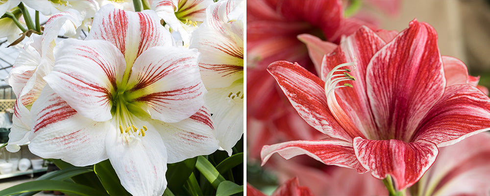 B&B types of amaryllis indoors red white striped varieties
