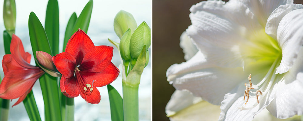 B&B types of amaryllis indoors red white varieties