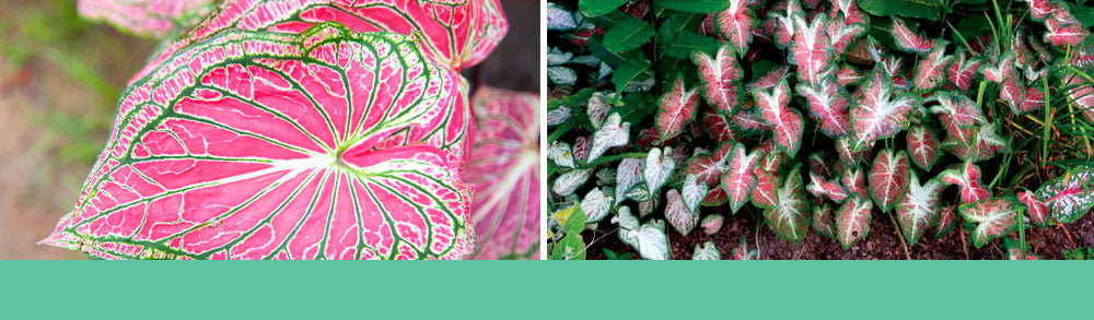 Growing Caladiums From Scratch