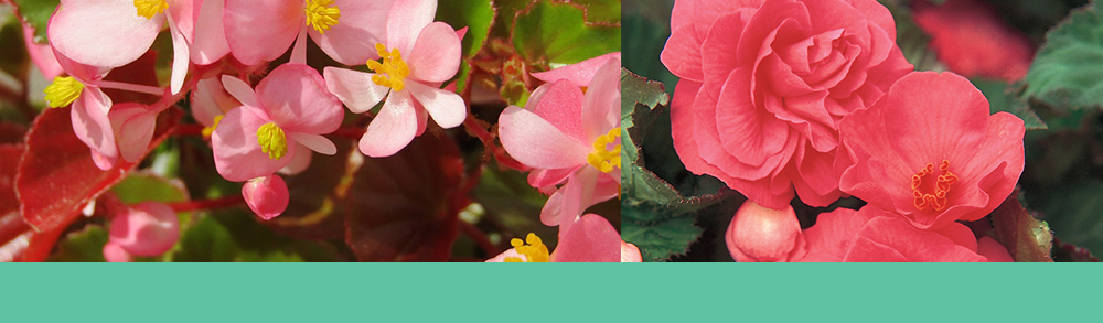 Begonia bulb care planting tips ideas design garden tubers outside flowers gardening